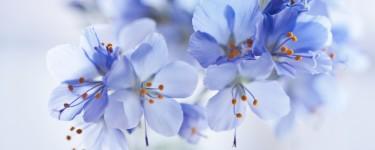 cvety-golubye-fon-razmytost.jpg